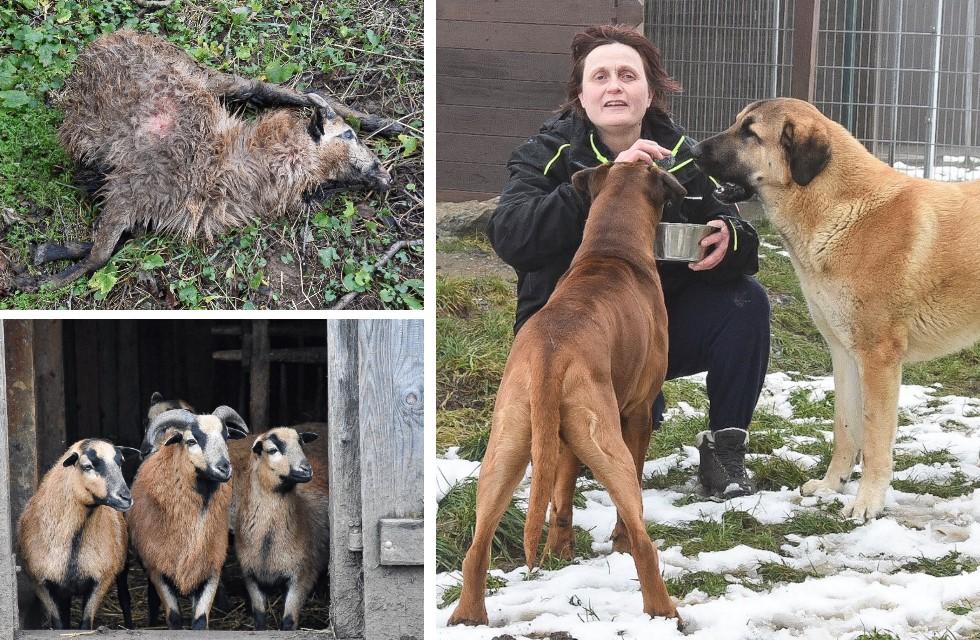 Sitzen hinter Gittern: Hunde reißen Schaf bei Plauen