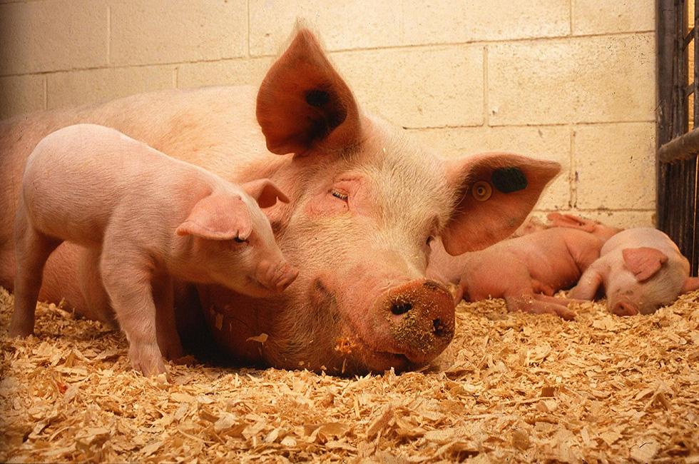 Schweinemast-Schoeneck-Vogtland-Schweinemastbetrieb