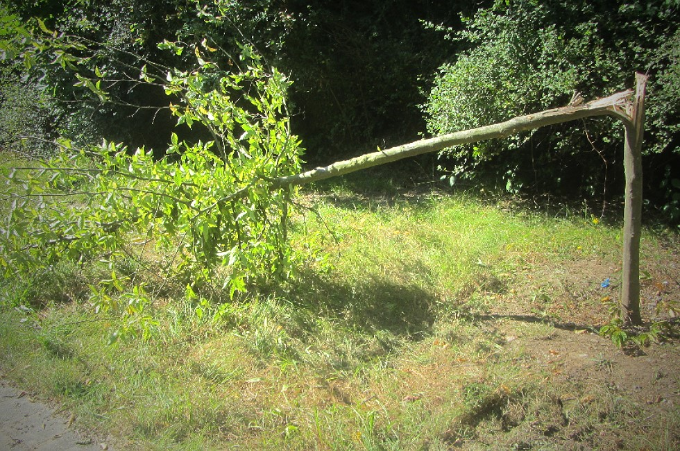 Vandalismus an Bäumen in Plauen hört nicht auf